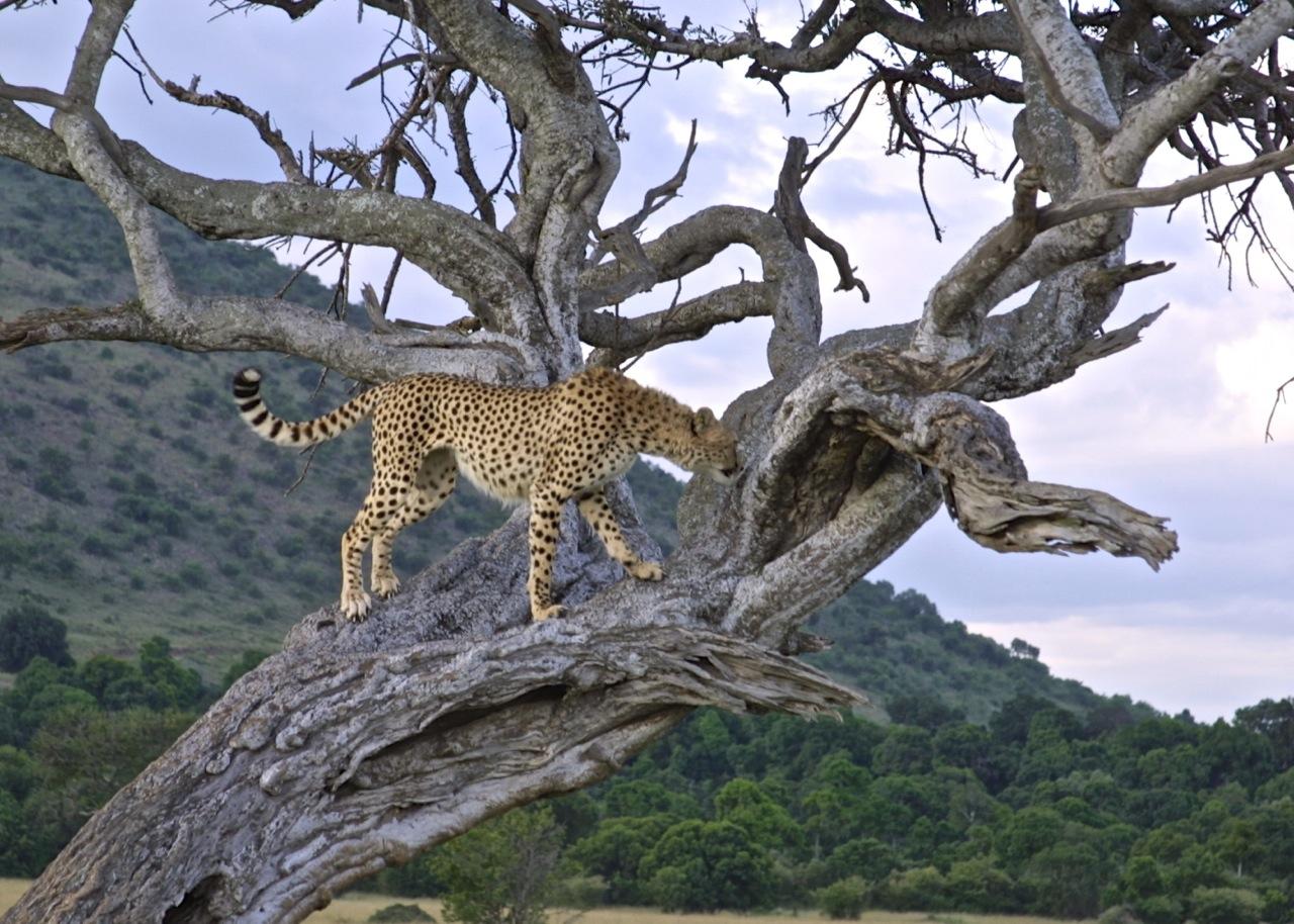 樹上に登ることもあるチーター